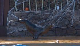 Lobo de mar 2 Fotos de Stock