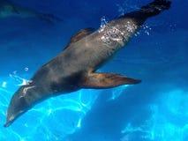 Lobo de mar 2 imagen de archivo