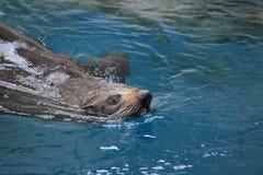 Lobo de mar 2 Imagem de Stock