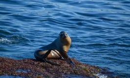 Lobo de mar 2 Fotografía de archivo
