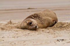 Lobo de mar 2 Foto de archivo libre de regalías