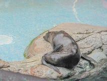 Lobo de mar 2 Imagen de archivo libre de regalías