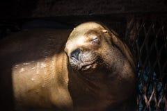 Lobo de mar que descansa em uma doca fotos de stock royalty free