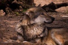 Lobo de reclinación Fotografía de archivo