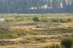 Lobo de Rocky Mountain en Lamar Valley del parque nacional de Yellowstone Imagen de archivo libre de regalías