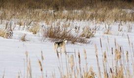 Lobo de Steppen Fotografía de archivo