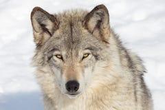 Lobo de Timeber Fotografia de Stock