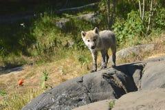 Lobo del bebé Imagenes de archivo