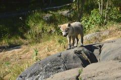 Lobo del bebé Foto de archivo libre de regalías
