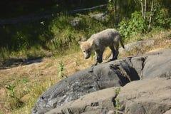Lobo del bebé Imagen de archivo libre de regalías