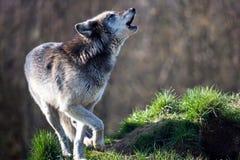 Lobo del grito Fotos de archivo libres de regalías