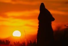 Lobo del grito en salida del sol Fotografía de archivo