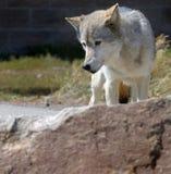 Lobo detrás de la roca Fotografía de archivo libre de regalías