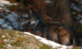 Lobo detrás de la roca Imágenes de archivo libres de regalías