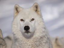 Lobo do ártico do macho alfa imagens de stock