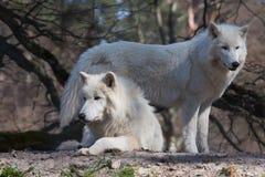 Lobo do ártico dois Imagem de Stock Royalty Free