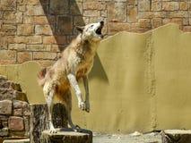 Lobo do jardim zoológico no log que salta para o alimento, animal treinado imagens de stock