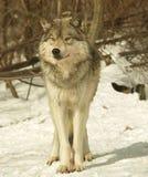 Lobo do macho alfa, Canadá Foto de Stock Royalty Free
