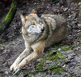 Lobo do Mongolian Imagens de Stock