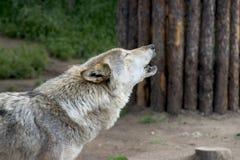 Lobo do urro Foto de Stock
