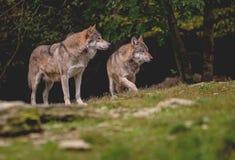 Lobo dos en el prado delante de árboles Foto de archivo