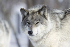 Lobo durante o inverno Fotos de Stock