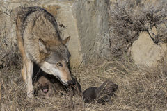 Lobo e filhotes de cachorro fêmeas no local do antro Imagens de Stock