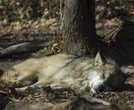Lobo el dormir Foto de archivo libre de regalías