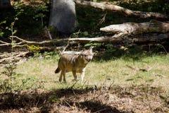 Lobo en bosque fotos de archivo