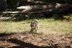 Lobo en bosque fotografía de archivo