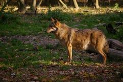 Lobo en bosque Imagenes de archivo