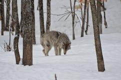 Lobo en bosque Fotos de archivo libres de regalías