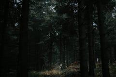 Lobo en bosque oscuro imagen de archivo