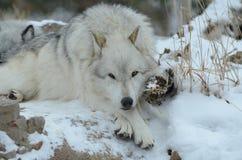 Lobo en descanso Foto de archivo