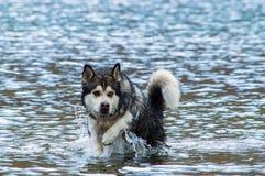 Lobo en el agua Fotos de archivo