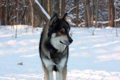 Lobo en el invierno Imagen de archivo libre de regalías