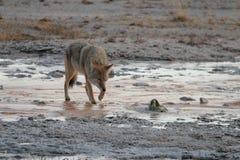 Lobo en el parque nacional de Yellowstone Fotos de archivo libres de regalías