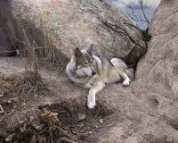 Lobo en guarida Imagenes de archivo