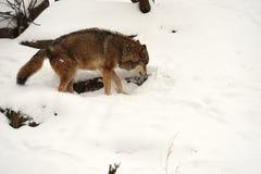 Lobo en invierno foto de archivo libre de regalías