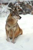 Lobo en invierno imagen de archivo libre de regalías