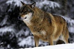 Lobo en invierno Fotografía de archivo