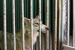 Lobo en la jaula Imágenes de archivo libres de regalías
