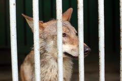 Lobo en la jaula Fotografía de archivo libre de regalías