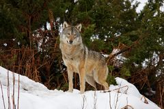 Lobo en la nieve Foto de archivo