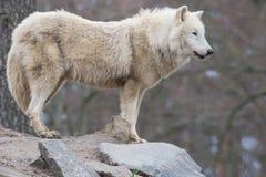 Lobo en la roca Imagen de archivo libre de regalías