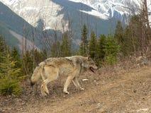 Lobo en montañas rocosas canadienses Foto de archivo libre de regalías