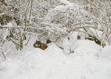 Lobo en museo del aire abierto de Skansen en Estocolmo en Suecia en invierno Foto de archivo