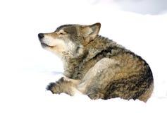 Lobo en nieve Imagenes de archivo