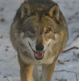 Lobo en nieve fotos de archivo