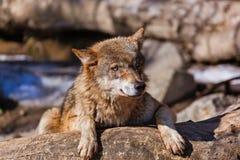 Lobo en parque Imagenes de archivo
